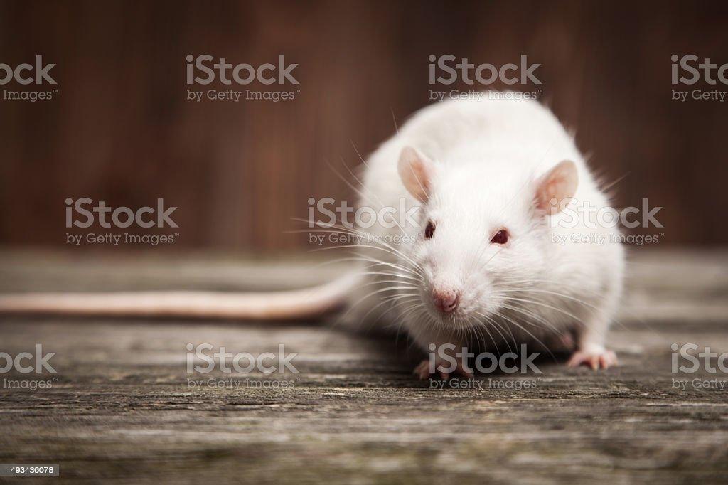 Pet rat closeup stock photo