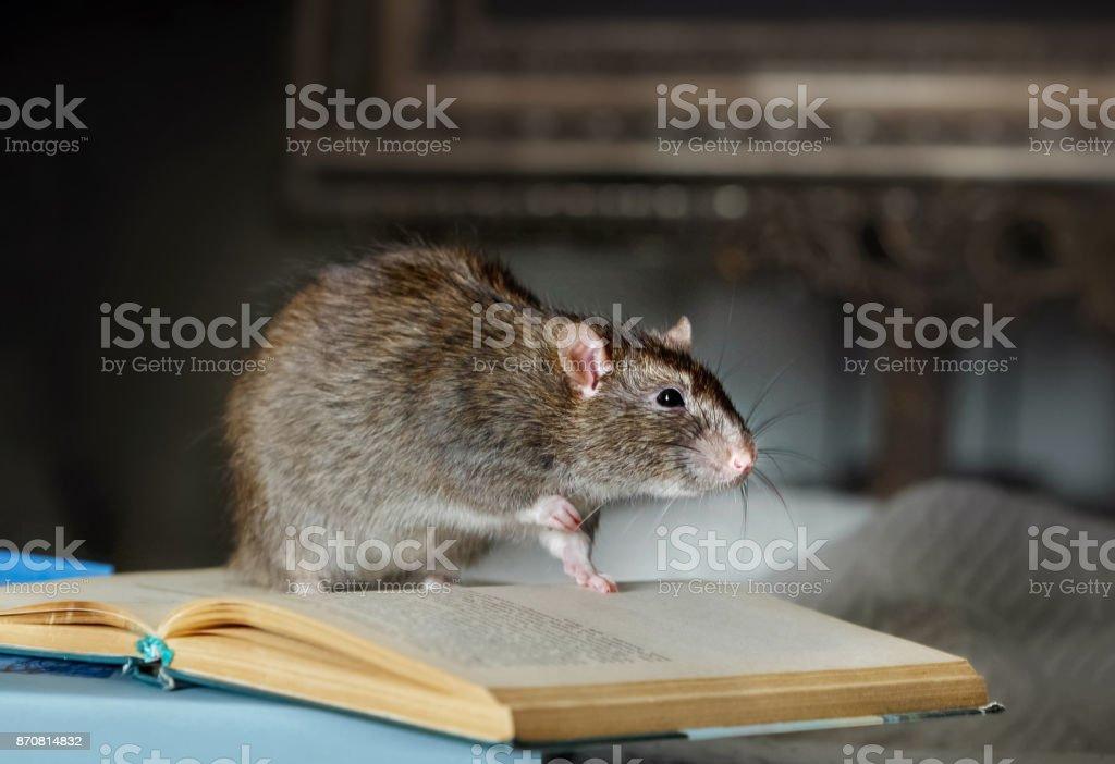 Rat pour animaux de compagnie à l'intérieur photo libre de droits