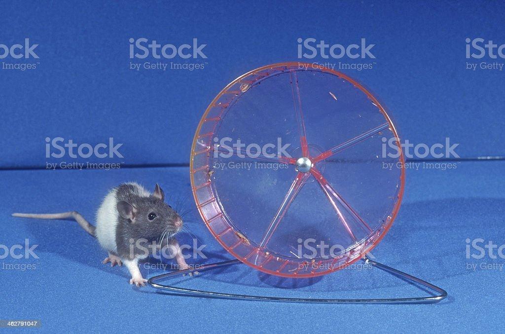 Pet rat stock photo