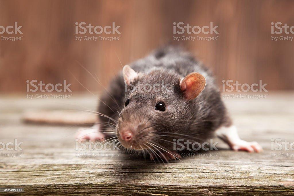 Pet rat Pet rats on a wooden background 2015 Stock Photo