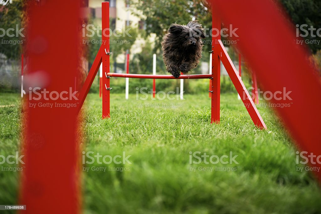Pet running, agility race with dog jumping over hurdle royalty-free stock photo