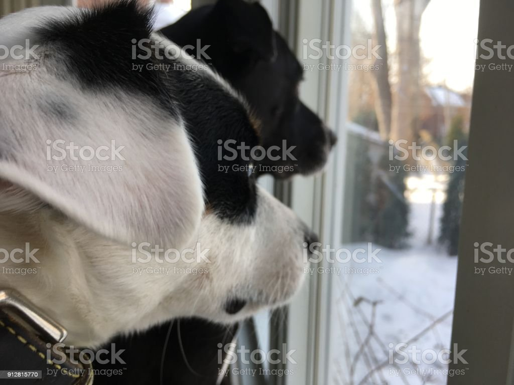 Pet selfie two cute dog friends looking out window conceptual friendship BFF's and togetherness photography stock photo