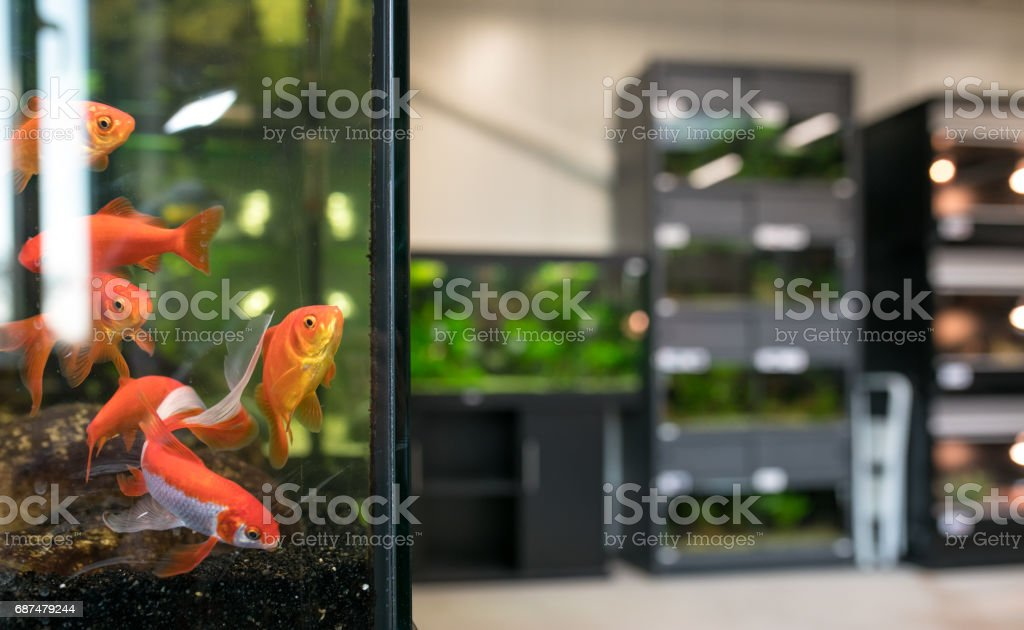 Pet shop aquarium with goldfish - Photo