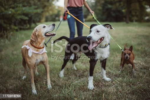 Pet sitter caring about dogs. They are ourtside and walking