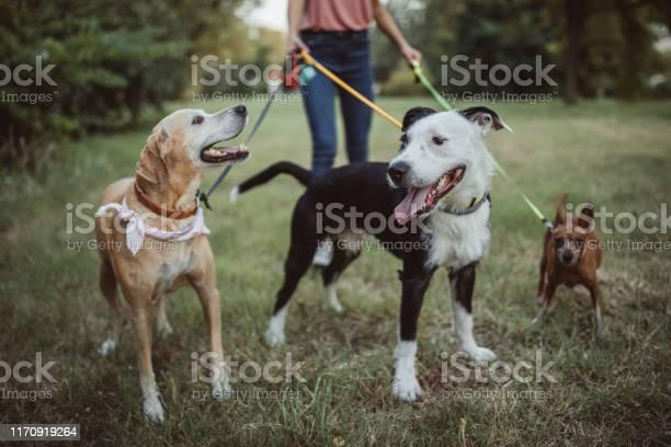 Pet sitter and dogs in walk picture id1170919264?b=1&k=6&m=1170919264&s=612x612&h=i2gvxt53jabukizpnabzkrixtd3ted 1kqrbk0minf8=
