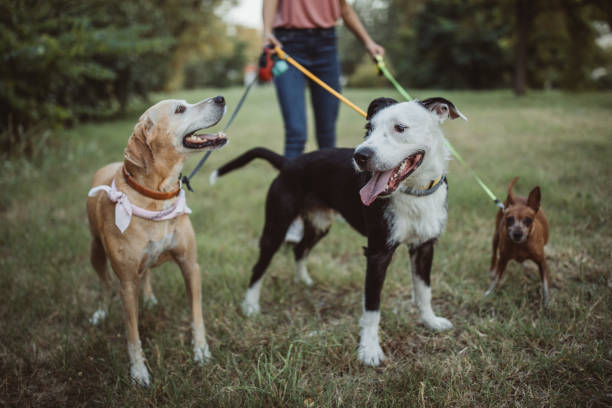 Pet sitter and dogs in walk Pet sitter caring about dogs. They are ourtside and walking mixed breed dog stock pictures, royalty-free photos & images