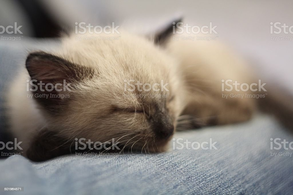 Pet sleeps on my knee stock photo