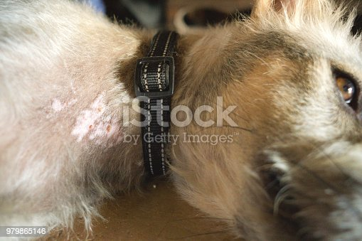 This terrier dog is lying down and showing signs of skin disease on its neck.  This can be a sign a dog has mange or parasites.  Image taken in Ko Lanta, Krabi, Thailand.