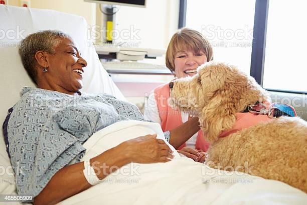 Pet therapy dog visiting senior female patient in hospital picture id465505909?b=1&k=6&m=465505909&s=612x612&h=qvezmlzabohz0jgg0romp4749xothhgh0cs9jkrgu3m=