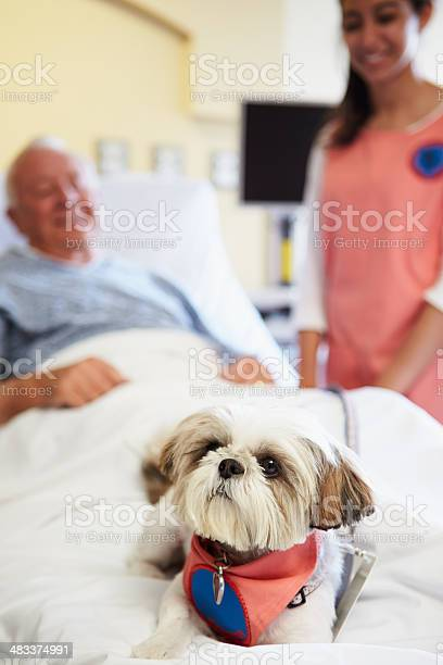 Pet therapy dog visiting senior male patient in hospital picture id483374991?b=1&k=6&m=483374991&s=612x612&h=gp8ucdc wuef3me0e76y6xdlygmdvmasf9b4mgqdr38=