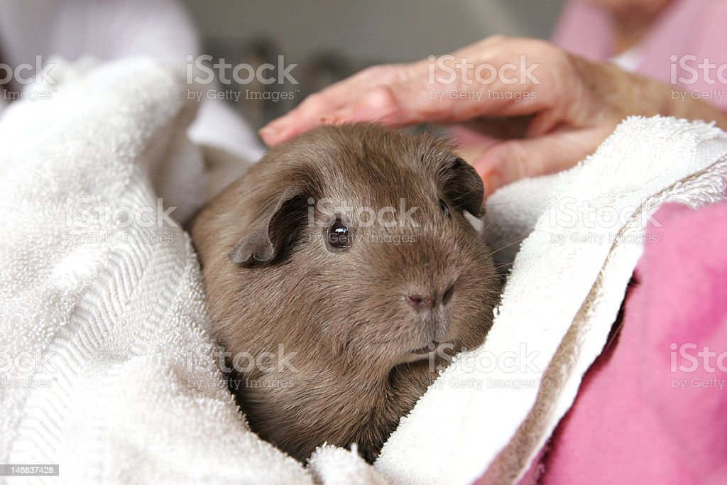 Pet therapy guinea pig stock photo