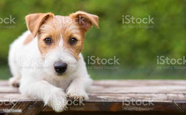 Pet training smart happy jack russell dog puppy looking picture id1035704498?b=1&k=6&m=1035704498&s=612x612&h=nplyxzra7abdejlpesxls3anzro0yjeukhzjkmqjopg=