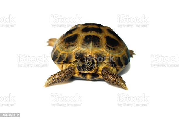 Pet turtle picture id500388412?b=1&k=6&m=500388412&s=612x612&h= a9xoujkgdd31kr3mbcwx0yy8ioyyq8zaik9b70g8ba=