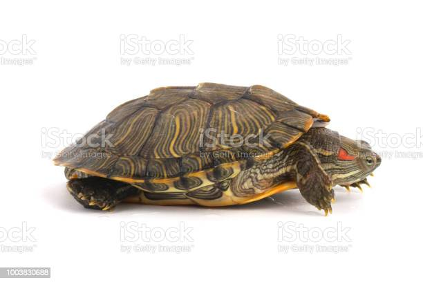 Pet turtle redeared slider isolated on white picture id1003830688?b=1&k=6&m=1003830688&s=612x612&h=i4gvlzqofa1ptncc8n1lt73 fy4yzb8cqyylgq8lqlm=