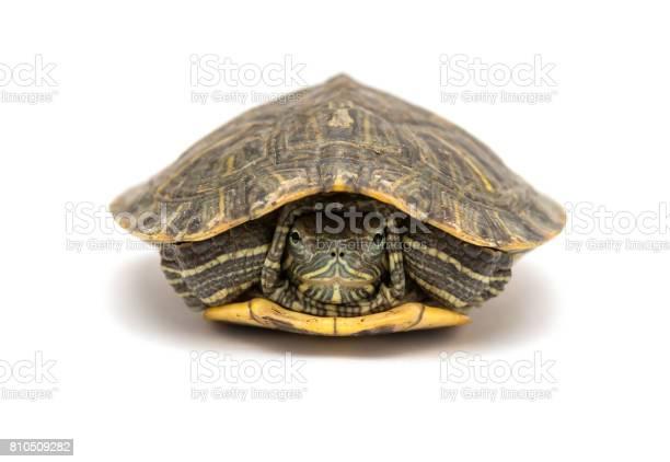 Pet turtle redeared slider or trachemys scripta elegans hides its picture id810509282?b=1&k=6&m=810509282&s=612x612&h=7cabexd2oa3oljnzbbk7kq2edyp6qthwyir76lngun4=