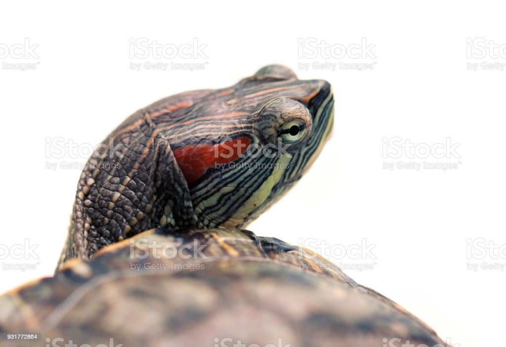Pet turtle red-eared slider or Trachemys scripta elegans isolated stock photo