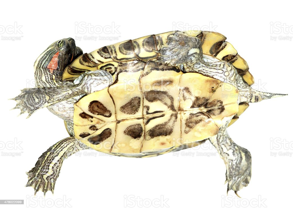Pet Turtle Redeared Slider Stock Photo Download Image Now Istock