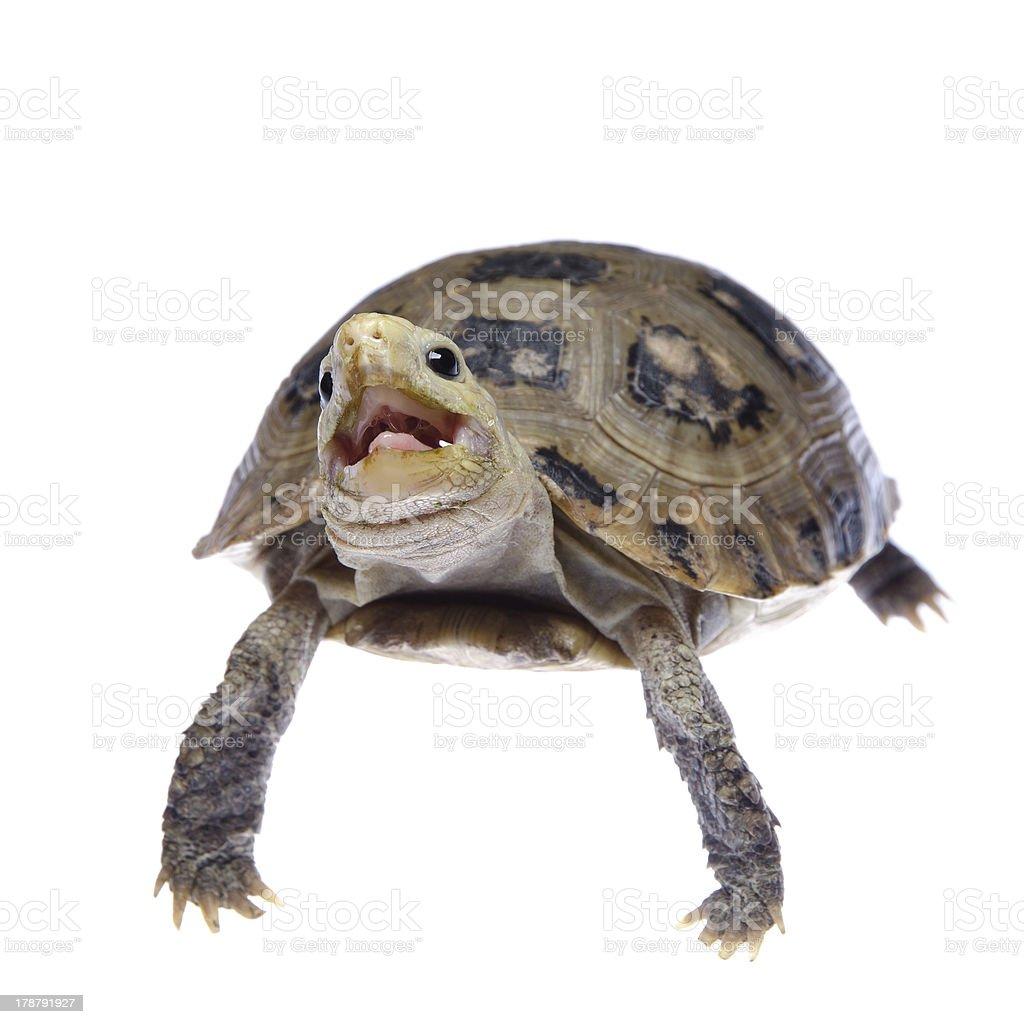 pet turtle tortoise royalty-free stock photo