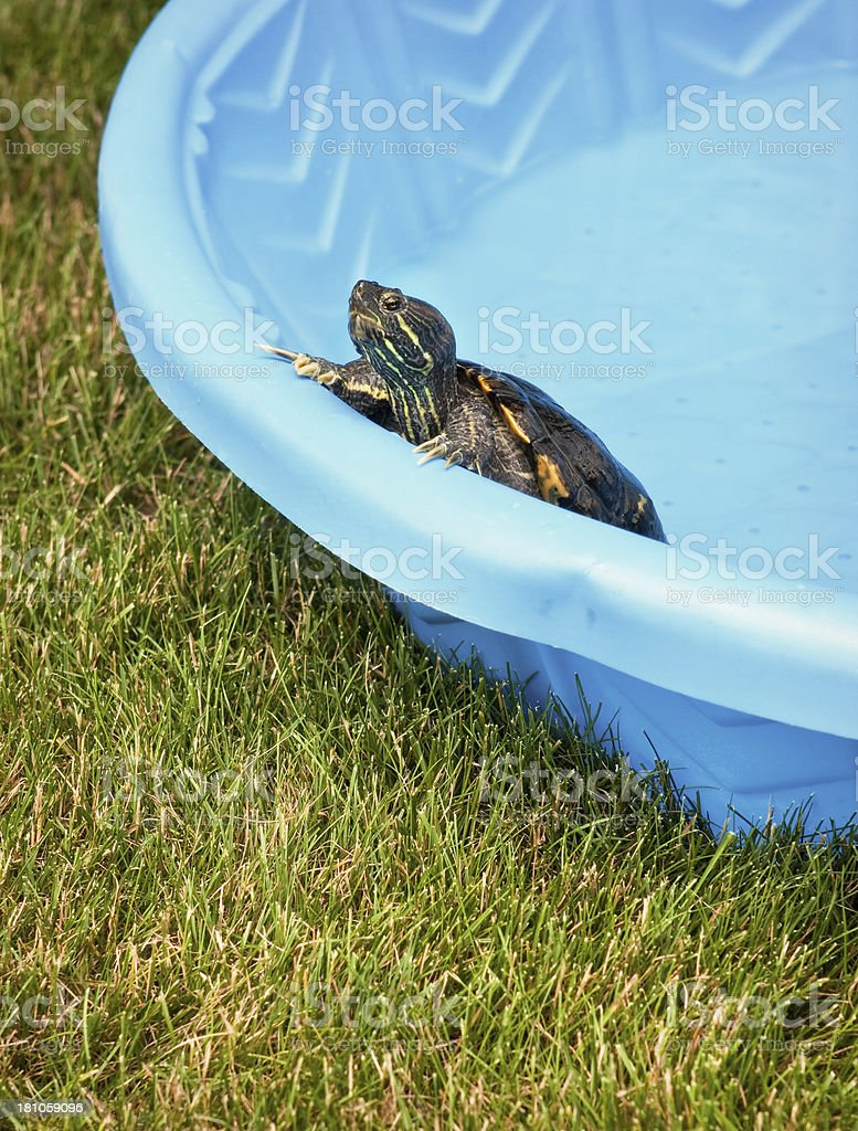 Pet Turtle Trying To Escape From Swimming Pool Stock Photo ...