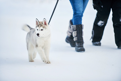 Puppy being walked in the winter snow by two humans.