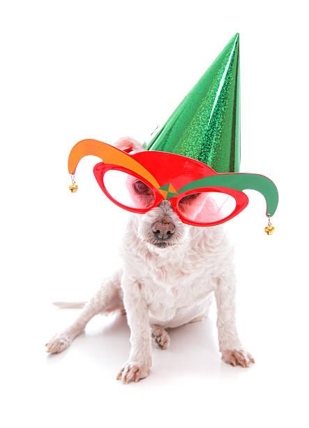 hund mit partyhut und court jester gläser - coole halloween kostüme stock-fotos und bilder
