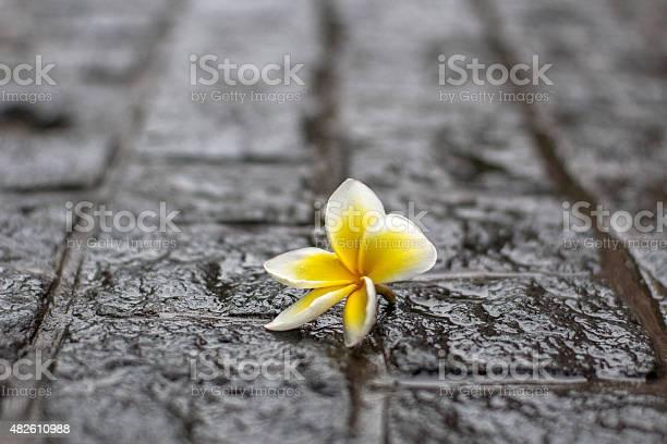 Petal fallen on wet ground picture id482610988?b=1&k=6&m=482610988&s=612x612&h=v4x60a gumkx8a4wxwi6mxslawyrwskwtu4cujrbrdy=