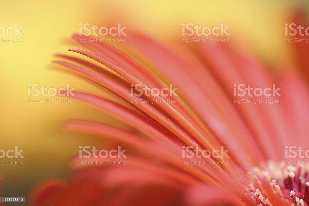 Petal flare royalty-free stock photo