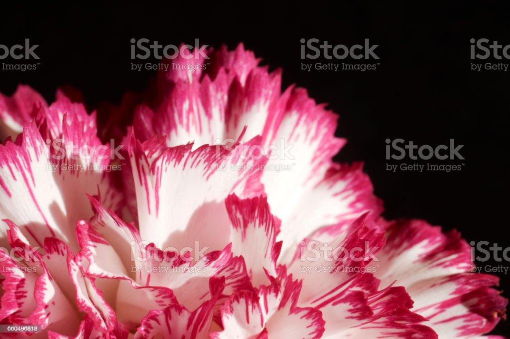 Petal of a Carnation stock photo