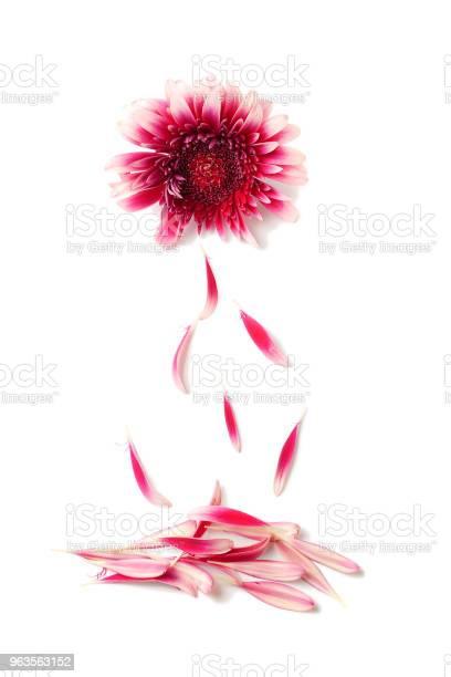 Petals falling down from gerbera flower on white background concept picture id963563152?b=1&k=6&m=963563152&s=612x612&h=olfub39hlasbelyzz 0rhy klvc9zxfi ugyyikulbg=