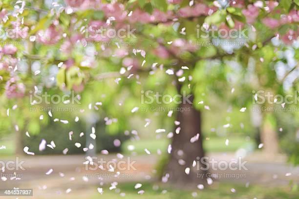 Petals falling from the tree at spring picture id484537937?b=1&k=6&m=484537937&s=612x612&h=fvsut1z3hldnud9wjnbgv z768dh0qnqsqjxlqz3cue=