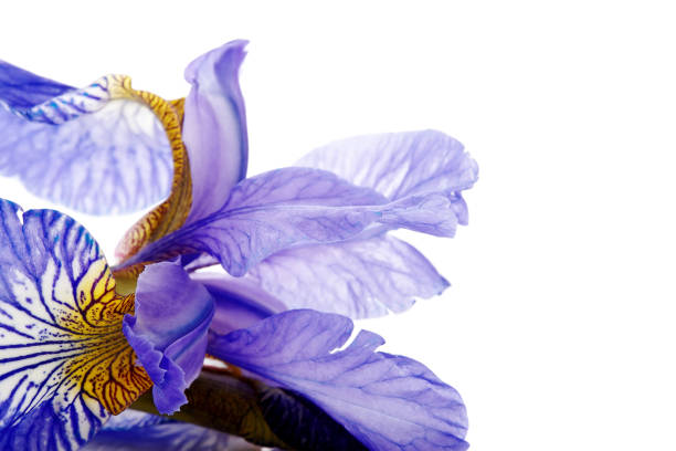 petals of a flower of an blue iris. - iris flower stock photos and pictures