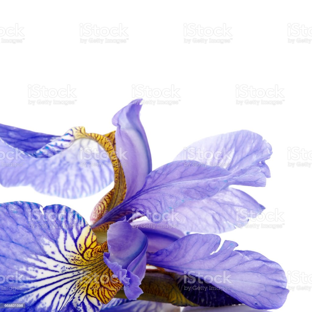Petals of a flower of an blue iris stock photo more pictures of petals of a flower of an blue iris royalty free stock photo izmirmasajfo