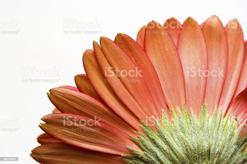 Petals of a Gerbera Daisy royalty-free stock photo