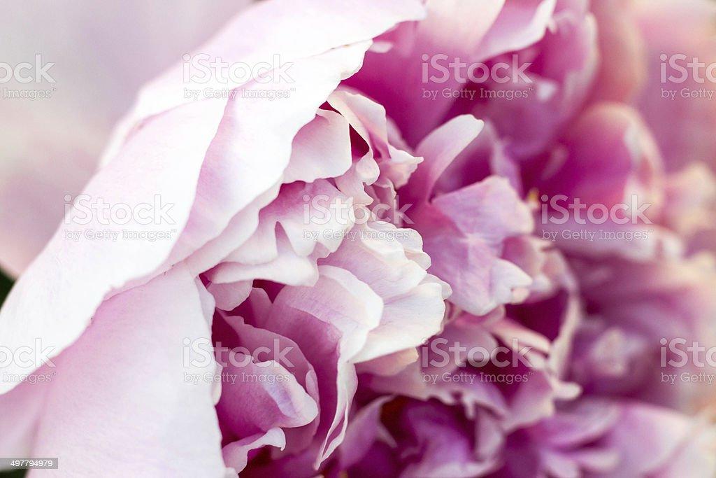 Petals of a Pink Peony stock photo