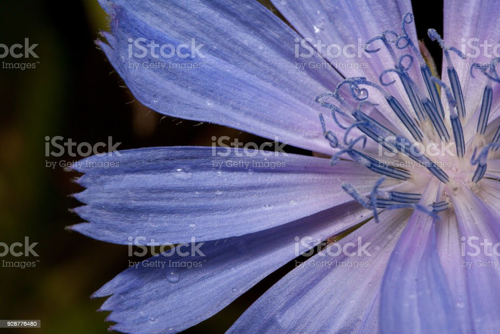 Petals of beautiful chicory after summer rain. Close up. Live nature.. stock photo