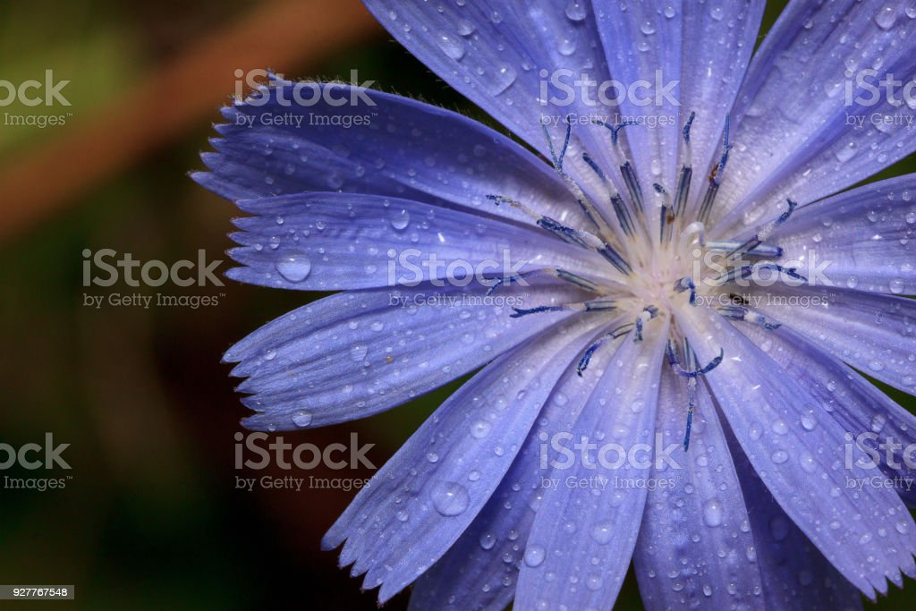 Petals of beautiful chicory close up. Live nature.. stock photo