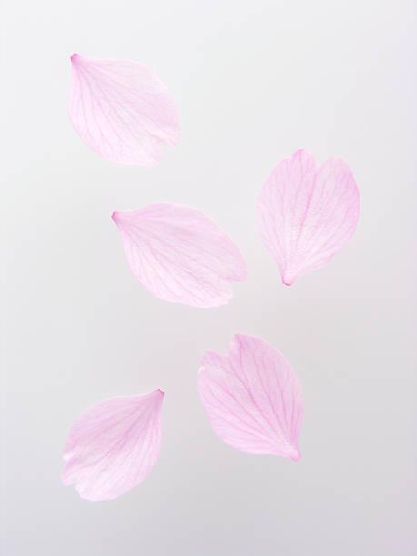 Petals of cherry blossom picture id177801283?b=1&k=6&m=177801283&s=612x612&w=0&h=5g7mm32mcojbxm2z gmaehzjeaokbafw xredlnll4s=