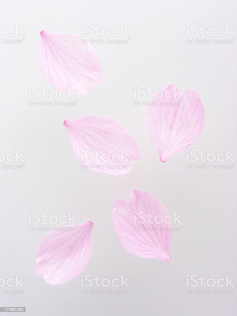 Petals of cherry blossom stock photo