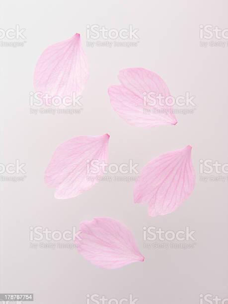 Petals of cherry blossom picture id178767754?b=1&k=6&m=178767754&s=612x612&h=phk6ryncgbbmijvg2ltlqyzlgjrw1pqyp6oadxougqo=