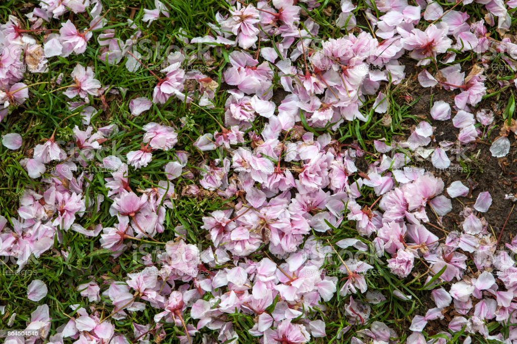 Petals of flowering trees on the grass stock photo