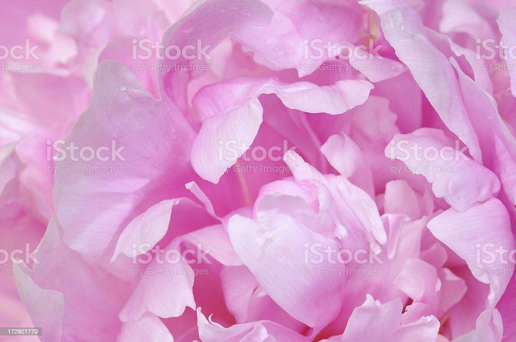 Petals of Pink Peony royalty-free stock photo