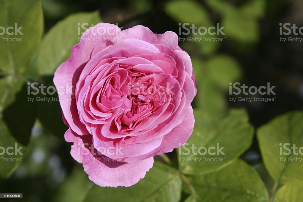 Petals of pink rose royalty-free stock photo