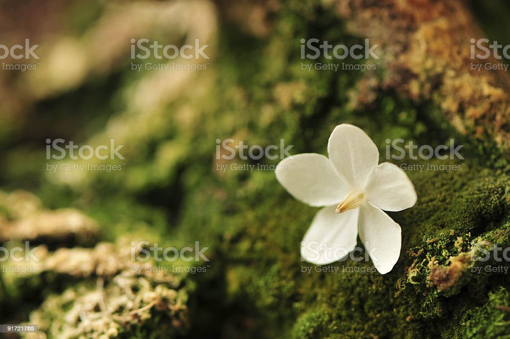 petals white royalty-free stock photo