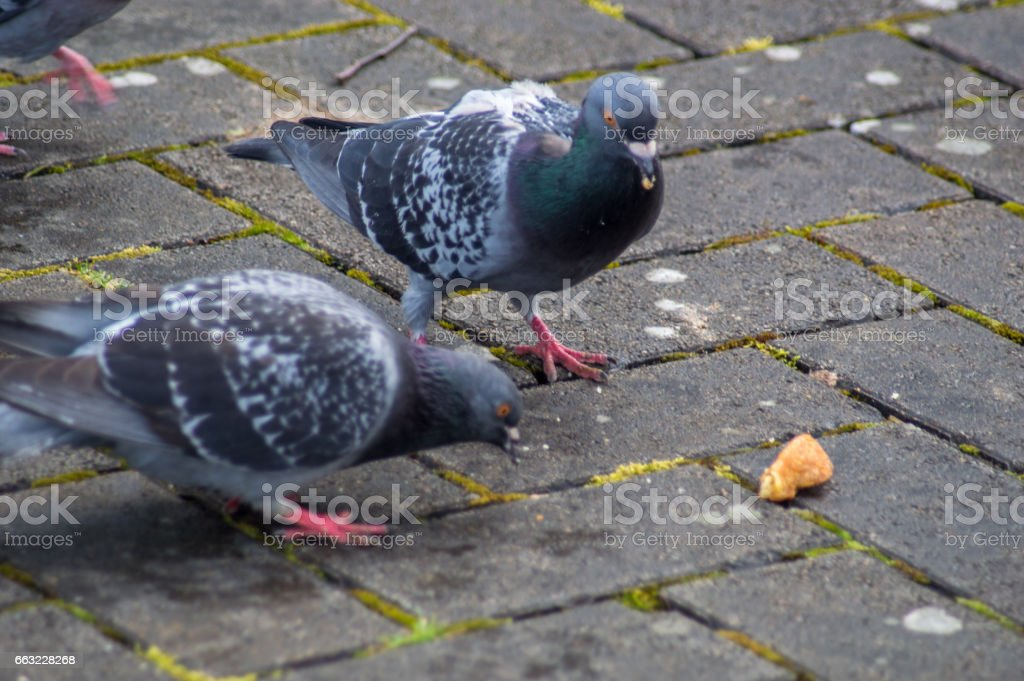 Peter and pepper Pigeon going for a meal stock photo