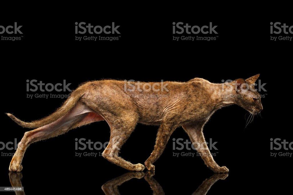 Peterbald Sphynx Cat Walking on Black Mirror stock photo