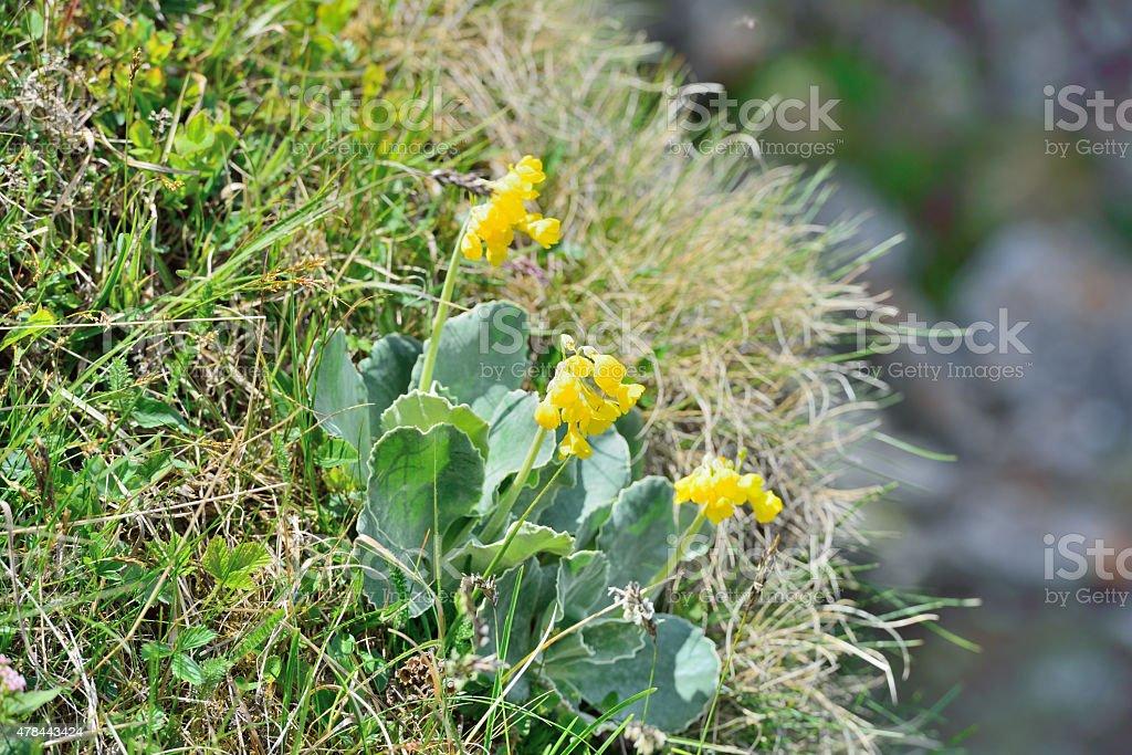 'Petergstamm' Aurikel (Primula auricula L.) stock photo
