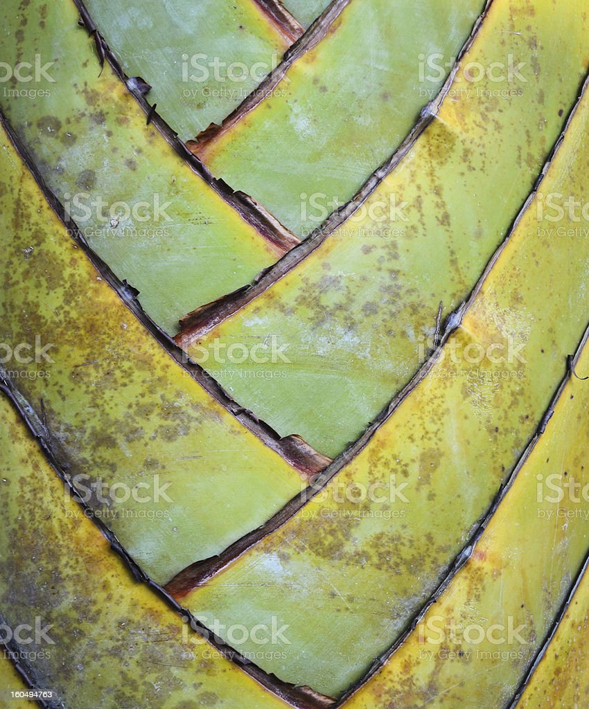 Petiole pattern of Traveller's Palm royalty-free stock photo