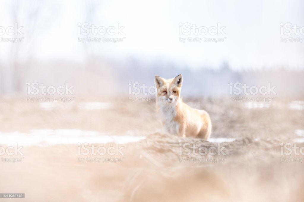 Petit renard stock photo