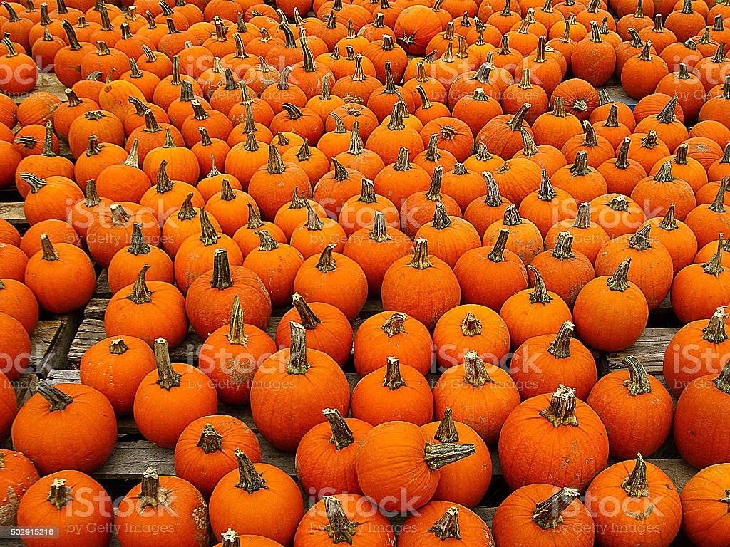 Petite Pumpkin Picking stock photo