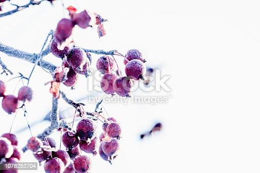 Petites pommes de pommiers décoratifs recouverts de givres